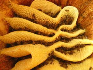 Construction naturelle des rayons de cires par les abeilles dans une ruche-tronc.