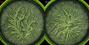 La cristallisation sensible est une méthode morphogénétique standardisée pour l'analyse d'échantillons (plante, aliment, sang...).