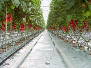 """La culture industrielle de tomates """"hors-sol"""" découle de la pensée matérialiste."""