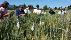 Parcelle expérimentale de céréales en biodynamie en Allemagne.